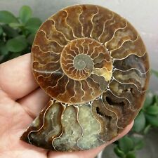 96g AMMONITE FOSSIL Nautilus Shell Cut Slice Specimen from MADAGASCAR