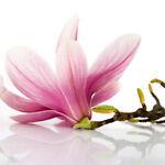 When The Magnolia Blossoms