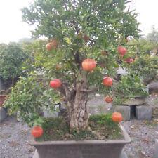 100 Pezzi semi di melograno mini frutta dolce semi di piante bonsai