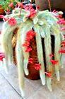 Monkey tail SEEDS~Cola demono cactus~Hildewintera colademononis cacti succulent