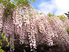 Lot Of (50) Wisteria Seeds-Pale Purple (Newest Crop: 2016)