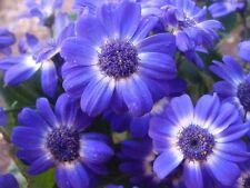 400+ Samen Brachyscome iberidifolia - Blaues Gänseblümchen