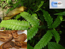 East Asian Tree Fern Rhizome/ jin mao  go ji  100g dry herb