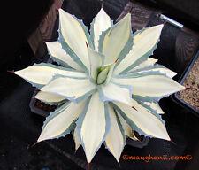 Succulent - Agave 'Tuxedo Kamen', white variegate