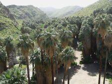 15 graines  de Palmier Washingtonia Filifera, rustique/ hardy palm seeds