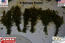 6 bunches bacopa plants Easy Aquarium aquascaping planted tank low light
