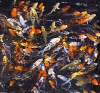 "12-Lot Assorted 3""-4"" Standard Fin Live Koi Fish With Overnight Shipping PKF"