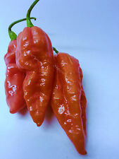 10 Bengle Naga Chilli Seeds Long Gnarly Pods SUPER HOT. Great Flavour Cropper