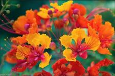 Pride Of Barbados, Peacock Flower,Dwarf Poinciana,Bird Of Paradise 10 Seeds