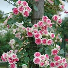 New listing 100pcs Rose red Climbing Rose Seeds Perennial Flower Garden Decor Plant