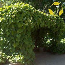DUTCHMAN'S PIPE Aristolochia Durior - 5+ SEEDS