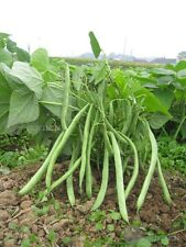 Dwarf Green bean Vegetable seed 15 Seeds snap beans Phaseolus patio garden
