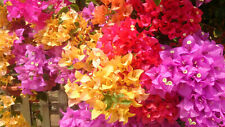 100 Pcs Bougainvillea Flower Seeds Rare Colorful Bonsai Pereninal Garden