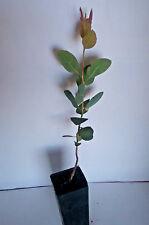 Eucalyptus semiglobosa (Gum Tree) in 50mm forestry tube native plant tree
