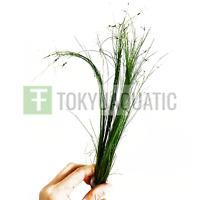 Giant Hairgrass Long Stems Eleocharis Vivipara Bundle Live Aquarium Plants Easy