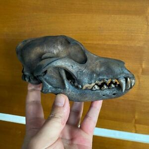 Dog dogs Skull home natural decors crafting taxidermy collectors specimens real