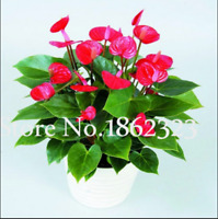 Mix Anthurium 100 Pcs Seeds Bonsai Indoor Flowers Plants Pots Garden Home NEW G