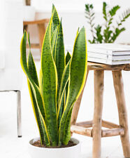 Sansevieria seeds Green Tiger Tail Home Garden Exotic Flowers Plants Pot 100Pcs