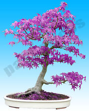 Purple Ghost Japanese Maple Tree Bonsai Garden Seeds (Acer Palatum)