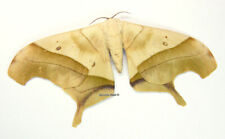 Unmounted Butterfly/Saturniidae - Dysdaemonia fosteri, male, Bolivia, A1/A-
