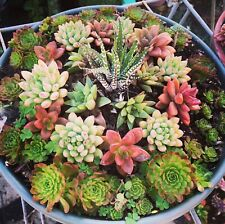 "20 Mini Fairy Garden Succulent Cuttings, 1"", 20 Different Varieties Plus 3 Free"