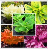 100 PCS Seeds Mix Color Hosta Plants Whirl Wind Flowers Bonsai Grass 2019 Rare N