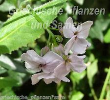 VIOLA notturna HESPERIS pianta aromatica più 200 seme