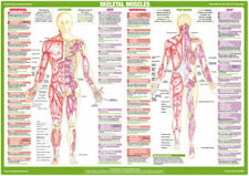 Muscle Anatomy Charts Bodybuilding Weight Training Posters