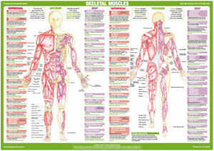 Muscle Anatomy Charts Bodybuilding Medical Posters