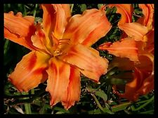 4 Orange Tiger Lily Bulbs Fans Ditch Lily Pond Lily Spring Flowers Lillies Lilly
