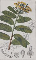 TURPIN BOTANICA PIANTE MARGRAVIA DI FIORI UMBELLATI PIANTE PLANT 1831
