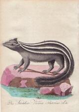 POLE CAT VIVERRA PUTORIUS Bechstein Original Natural History Antique  Print 1796