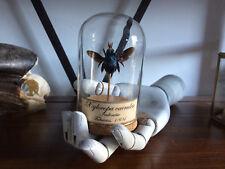 Cabinet de curiosités Oddities Globe insecte Abeille bleu géante Xylocopa!