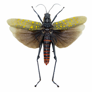 Northern Spotted Grasshopper (Aularches punctatus) (Spread) (M) Insect Specimen