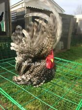 Barred And Black Japanese Bantam Hatching Eggs