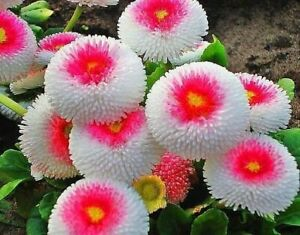 Seeds Aster Hai No Maru Rare White Pink Annual Flower Outdoor Garden Ukraine