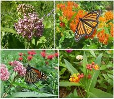 Milkweed Seed Mix 4 species Asclepias Common Orange Swamp Tropical for Monarchs