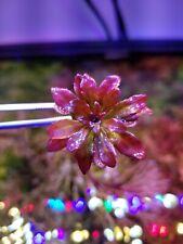 Super Rare Ludwigia Mini Sphaerocarpa Live Aquarium Aquatic Plant Plants Erio