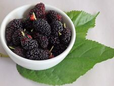 Mulberry Black Beauty Live Plant Tree Fruit 2 - 3 Feet Height Bare Root Ball