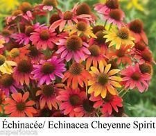 Echinacea Cheyenne SPIRIT 20 Seed CONE FLOWER LONG BLOOM LAST CANDA COMB/SHP GIF