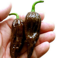 BHUT JOLOKIA #2199    20 CHOCOLATE pepper seeds seeds//pkt