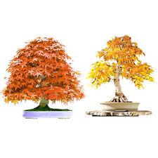 Blue Red Purple Leaf Japanese Maple Acer Palmatum Bonsai Tree Seeds 20Pcs/Bag