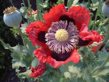 40+ Fruit Punch Papaver Orientale Poppy  Flower Seeds  Mix/ Perennial