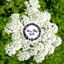 ANIS PIMPINELLA ANISUM 50 Samen Heilpflanze Teekräuter für BIO Tee Gewürz Kraut