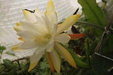 """Epiphyllum Blattkakteen Epicactus """"China Lake"""" Steckling"""