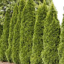 2 Emerald Green Arborvitae Plants(Thuja Occidentalis 'Emerald')