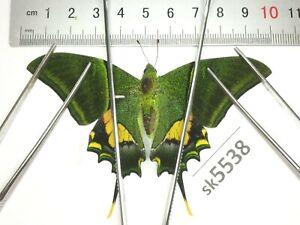SK5538 # Unmounted Butterfly Teinopalpus imperialis North Vietnam