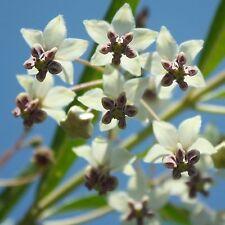 Pianta di Seta * Asclepias physocarpa * 10 semi/Seeds * palloncino pianta * Inverno