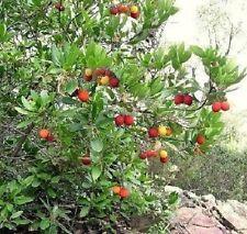 Leckere Früchte ganzjährig ♠ Der Erdbeerbaum ♠ Samen Obstpflanzen für den Garten