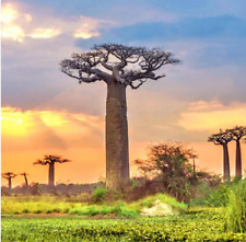 20Pcs Adansonia Digitata Baobab Tree Seeds Rare Kind Pereninal Tropical Decor